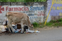 A cow in the streets